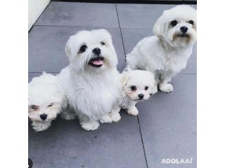 Stunning White Teacup Maltese Pup Available (541) 313 8629