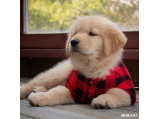 Golden retriever puppies looking for new homes