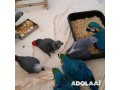 healthy-baby-parrots-and-eggs-avaibale-small-0
