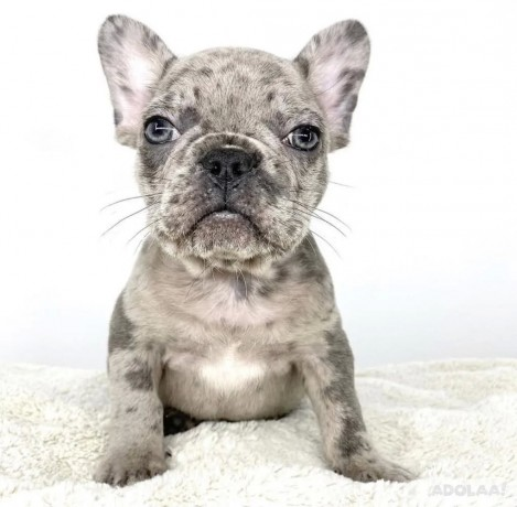 french-bulldog-puppies-for-adoption-big-0