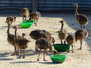 Home Breed ostrich chicks and eggs available