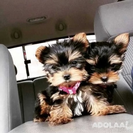 teacup-yorkie-puppies-for-sale-text-551-888-3483-big-0