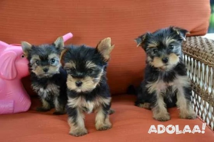 akc-yorkie-and-up-to-date-on-shots-and-deworming-big-0