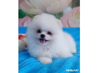 Pomeranian puppies for adoption male and female