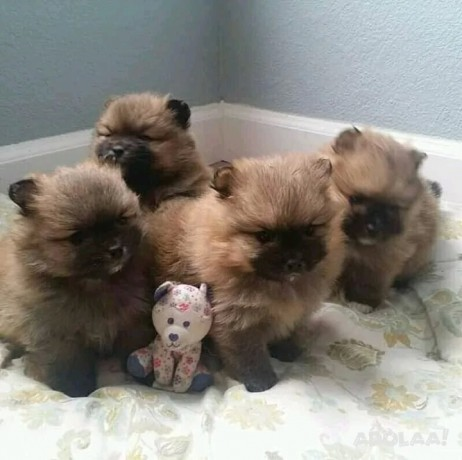 pomeranian-puppies-for-adoption-male-and-female-big-0