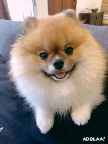 pomeranian-puppies-for-adoption-male-and-female-big-2
