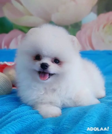 pomeranian-puppies-for-adoption-male-and-female-big-1