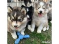 husky-puppies-for-adoption-small-1