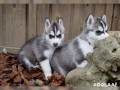 husky-puppies-for-adoption-small-0