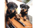 rottweiler-puppies-for-adoption-male-and-female-small-1
