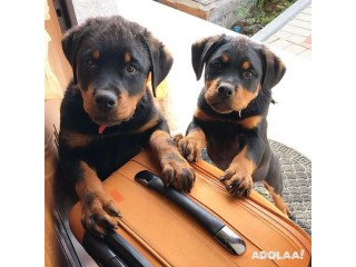 Rottweiler puppies for adoption male and female