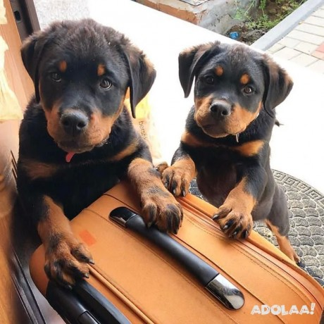 rottweiler-puppies-for-adoption-male-and-female-big-1