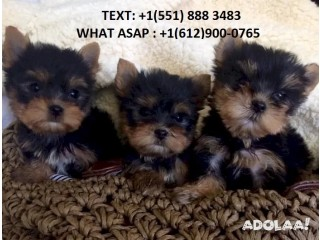 Teacup Yorkie For Sale (551) 888 3483