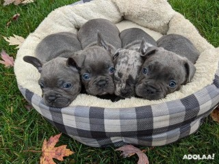 Chunky French Bulldog Puppies!