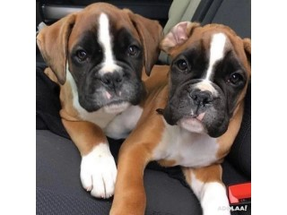 Amazing Boxer puppies for sale