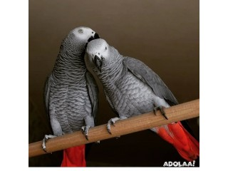 African grey parrots for sale/macaw parrots for sale