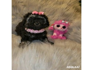 Super Adorable Tiny Toy Poodle Puppies