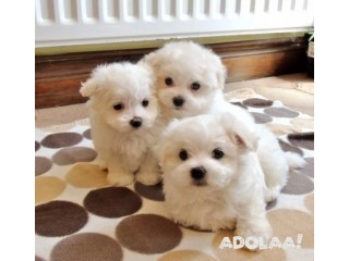 Male and Female Maltese Puppies Needing New Homes