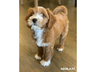 Goldendoodle Puppies for Sale 30% Discount Available
