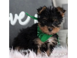 Adorable yorkie puppies ready for their new homes