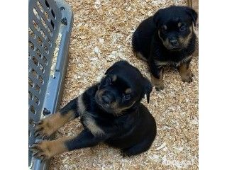 Pure bred Rottweiler Puppies for Sale
