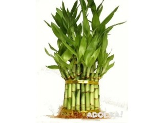Discover the Lucky Bamboo Plants for Sale Online