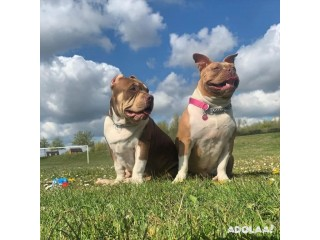 Pocket American Bully Puppies for Sale
