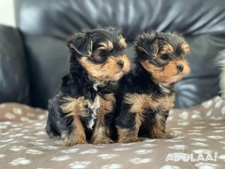 Adorable male and female Yorkie Puppies TEXT (218) 380-6665